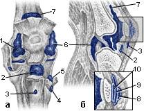 Область правого коленного сустава, вид спереди (а) и в продольном распиле (б) (рис.4)